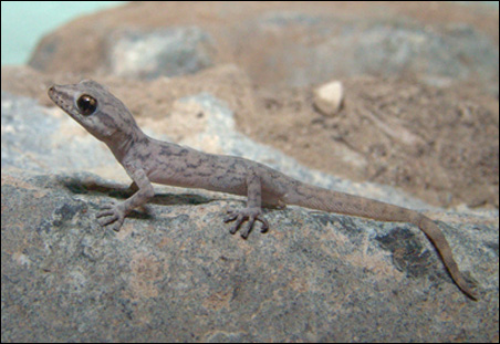 Phyllodactylus inaequalis, a member of the new family.