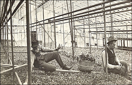 Albert (second generation) and Henry Sr. (founder) working in the greenhouse bunching radishes. Circa 1912.