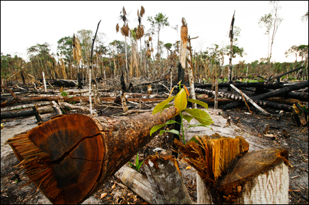 A seedling pokes through the ground in an area of the Amazon jungle that was deforested for an illegal settlement.