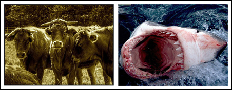 You are more likely to be trampled by cattle than eaten by a shark.