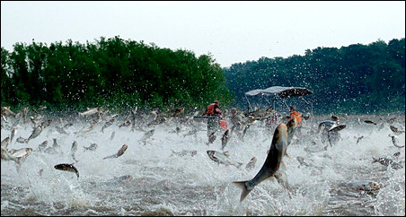 Illinois River silver carp jump out of the water after being disturbed by sounds of watercraft.