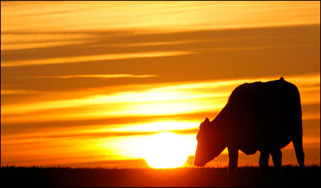 At the center of the latest stem cell debate: A cow grazes at sunset in central England.