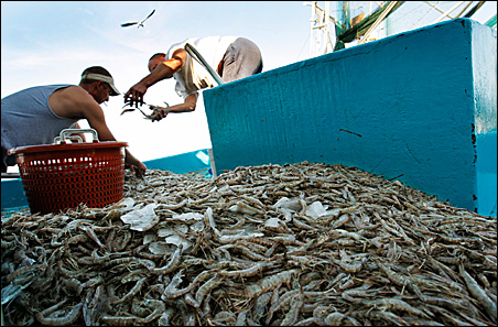 Shrimpers separate their catch at a processing plant at Joshua's Marina in Buras, Louisiana. While some local fishermen have been hired by BP to assist in oil spill clean-up efforts, others continue to fish the bay side of the coastal waters.