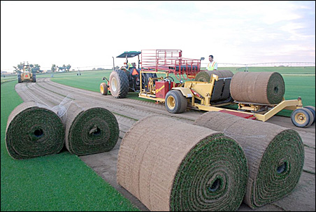 Workers in Fort Morgan, Colo., begin pickup of the 300-square-foot rolls of sod.