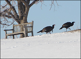 Turkeys trot away from a solitary bench at the Minnesota Landscape Arboretum.
