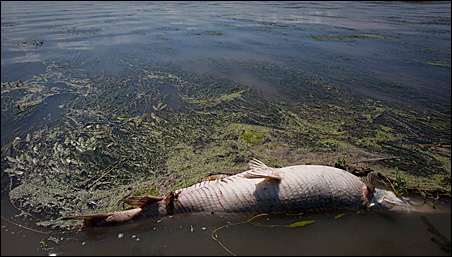 A dead garfish lies in a marsh near Venice, Louisiana.
