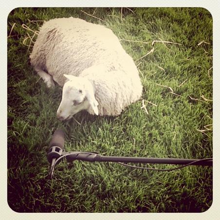 Sheep with microphone