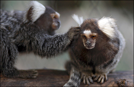 18 six-inch endangered titi monkeys, like these shown in the Buenos Aires' Zoo, were being smuggled to Mexico from Peru.