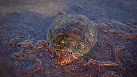 A sea turtle is mired in oil from the Deepwater Horizon oil spill on Grand Terre Island, Louisiana.