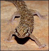 A pachydactylus capensis, like many geckos, curls its toes back as it walks.