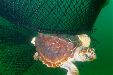 A loggerhead turtle escapes a trawl net thanks to a turtle excluder device.