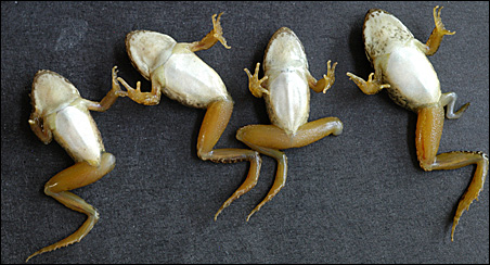 Rana cascadae that have lost hind limbs as a result of dragonfly predation.