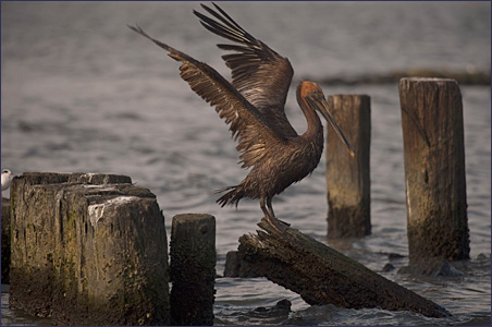 An oiled Brown Pelican flaps its wings on a piling near Grand Isle, Louisiana, on Tuesday.
