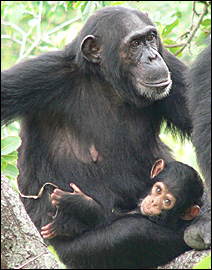 This female chimpanzee also was found to have the SIV virus.