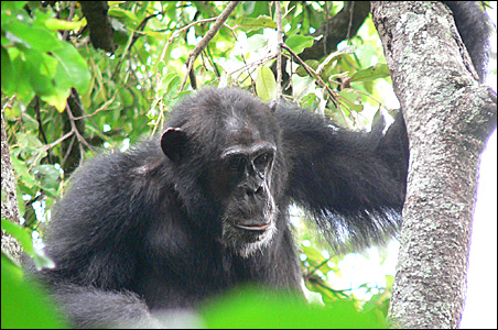 This chimpanzee from Gombe National Park was thefirst in the wild known to be infected with the SIV virus.
