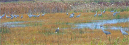 Eagle amid cranes in Crex Meadows -- one possible destination to visit before winter hits