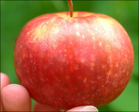 The Frostbite apple isn't big, but what it lacks in size it makes up in flavor.