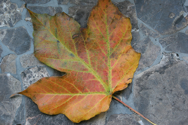 A leaf from the maple tree in my backyard.