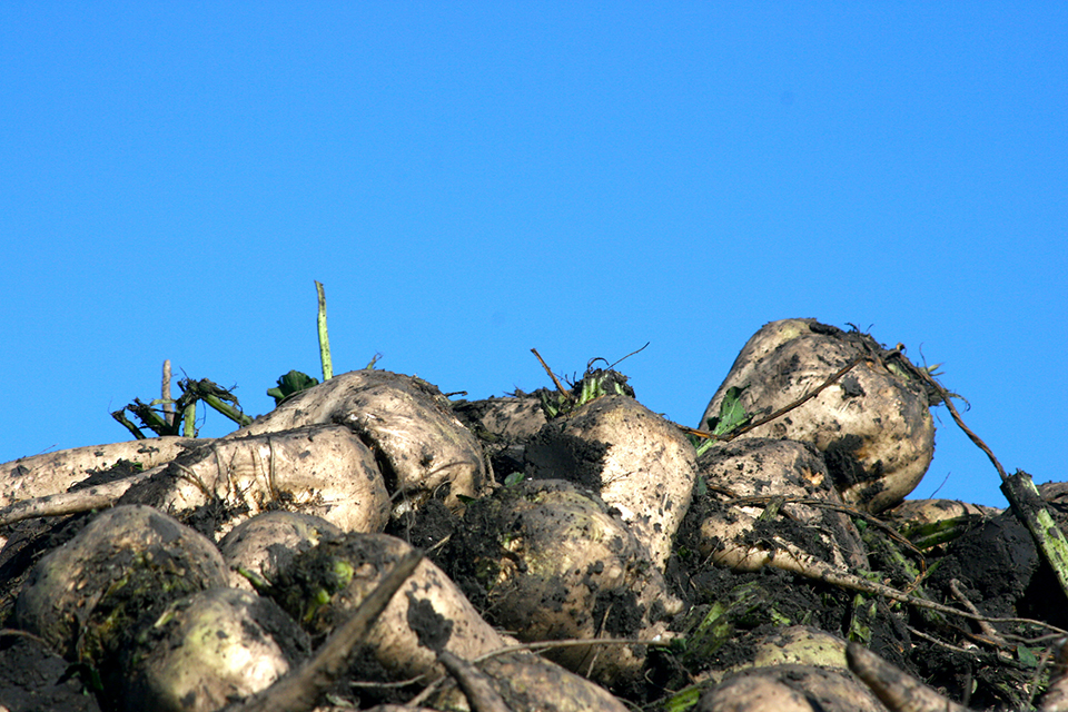 photo of pile of sugarbeets