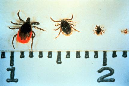 blacklegged ticks