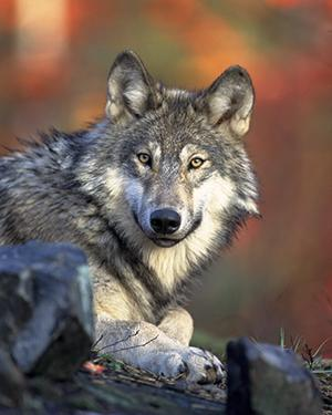 Keep politics out of wolf recovery | MinnPost