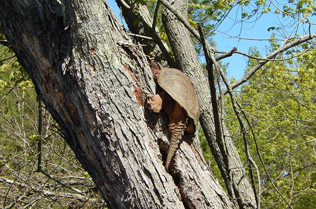 treed snapping turtle
