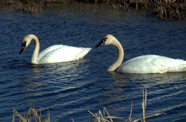 trumpeter swans in water