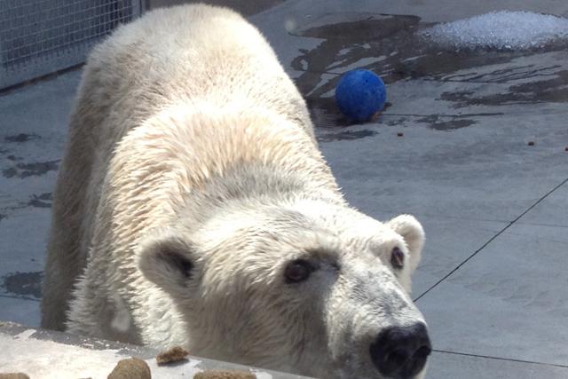 Duluth Polar Bear